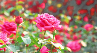 Flower of Suseong– Rose