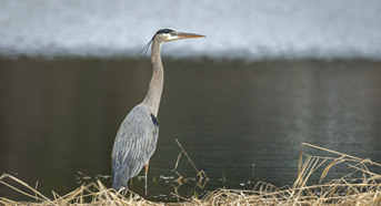 Bird of Suseong- Heron
